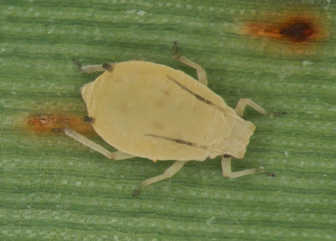 Sugarcane_aphid
