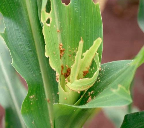 Whorlworm damage