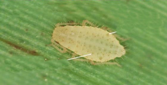 Yellow_sugarcane_aphid