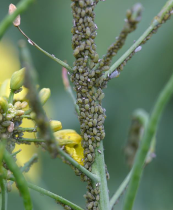 Aphids on canola raceme