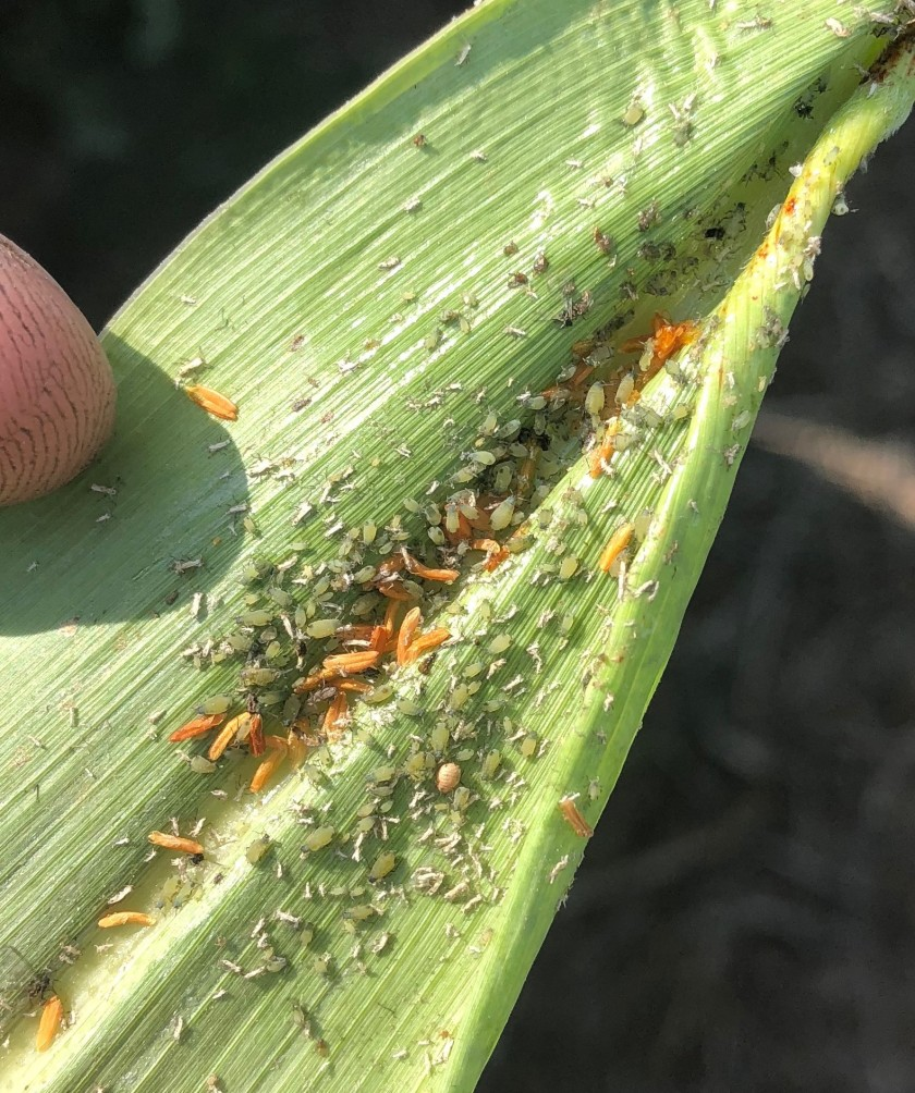 Corn_leaf_aphids